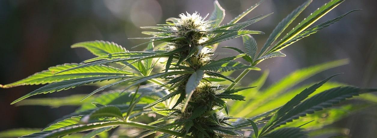 Cannabinoide bei Stimmungsschwankungen