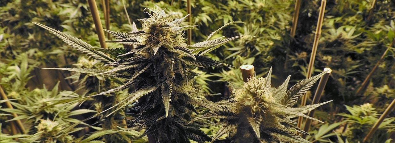 Infektionen mit Cannabinoiden behandeln