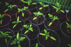 Beschleunigung Hanf Wachstum