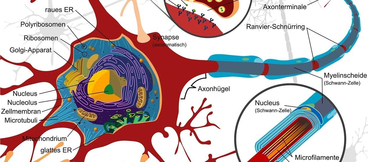 Wie können cannabinoide die symptome einer Rückenmarksverletzung lindern